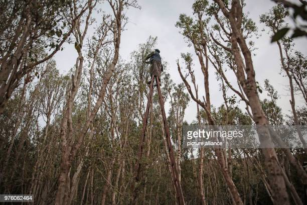 A picture provided on 30 May 2018 shows Yemeni farmer Ahlam AlAlaya climbing up a ladder to pick up qat leaves in her land farm during an interview...