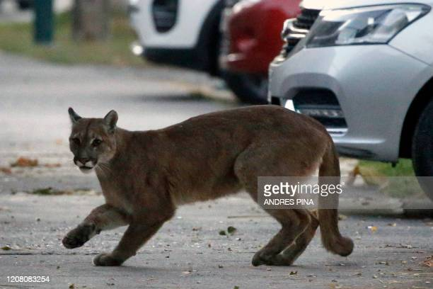 Picture released by Aton Chile showing an approximately one-year-old puma in the streets of Santiago on March 24, 2020 which according to the...