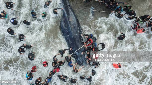 TOPSHOT Picture released by Telam showing rescue workers and locals helping a stranded whale in Mar del Plata Argentina on April 9 2018 The whale...