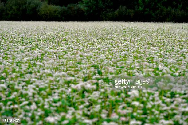 A picture shows a buckwheat field near SaintJust on July 21 2015 Buckwheat is traditionally used to make crepes AFP PHOTO / GEORGES GOBET / AFP PHOTO...