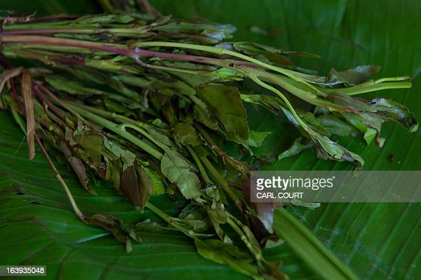 A picture shows a bundle of khat a flowering plant which contains an amphetaminelike property that has been used as a stimulant for centuries in the...