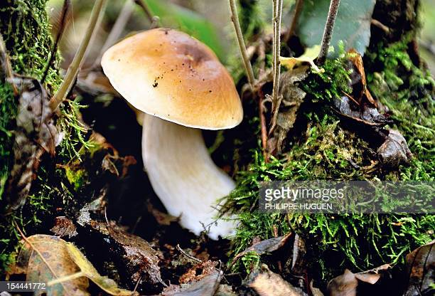A picture shows a cep mushroom on October 20 2012 in the Clairmarais' wood AFP PHOTO PHILIPPE HUGUEN