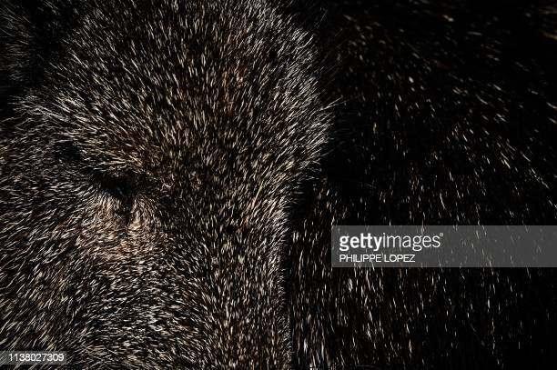 A picture shows a closeup of a peccary in an enclosure at the Paris zoological park in Paris on April 12 2019