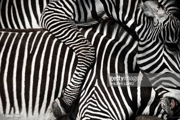 TOPSHOT A picture shows a closeup of zebras in an enclosure at the Paris zoological park in Paris on April 12 2019