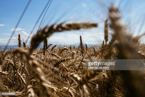 A picture shows a field of wheat near the southern village of Trud on July 5 2016 While national grain association chief Svetoslav Rusalov enjoys a...