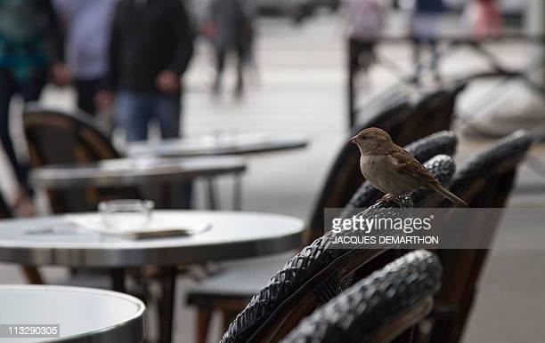 A picture shows a sparrow on a cafe terrace on April 30 2011 in Paris AFP PHOTO/ JACQUES DEMARTHON