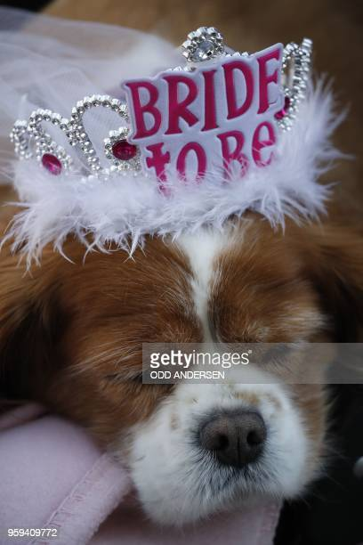 A picture shows Camilla the dog of royal wellwisher Anne Daly who is in Windsor on May 17 2018 two days before the royal wedding of Prince Harry and...