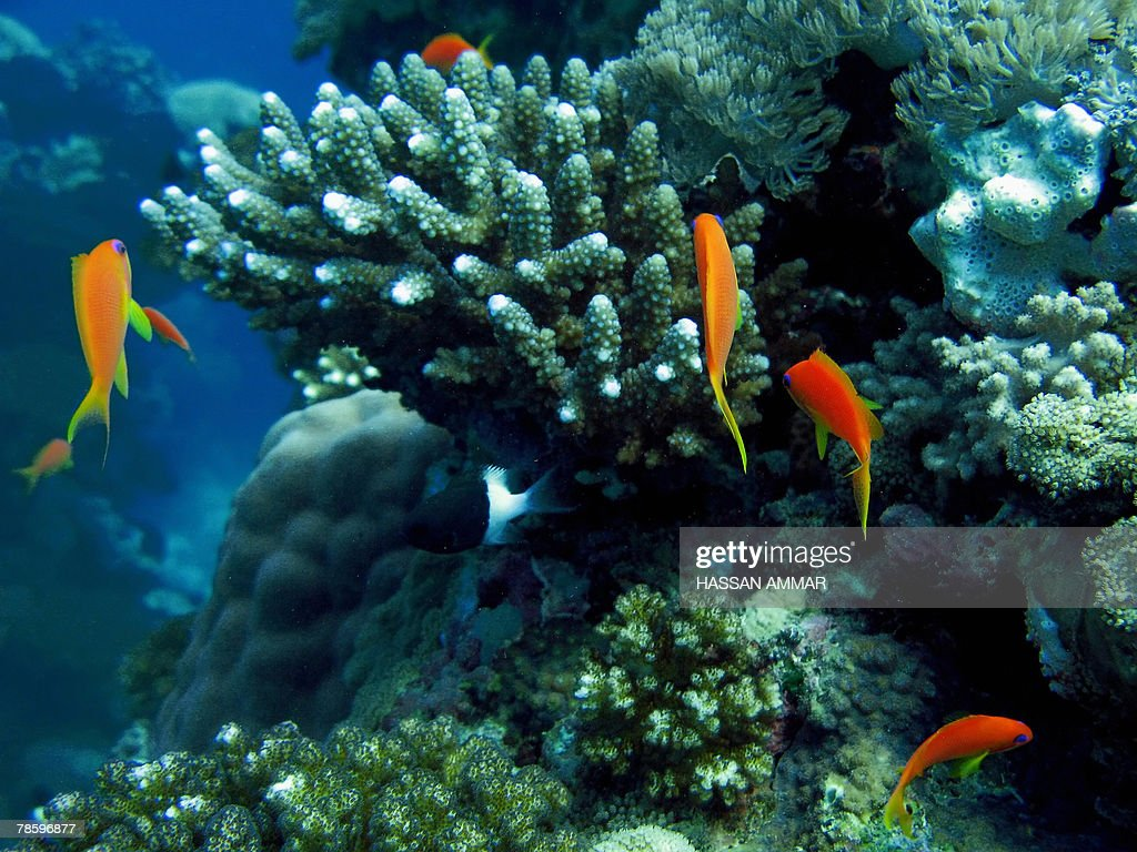 A picture shows coral reefs at the Obhor : News Photo