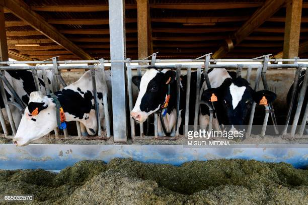 A picture shows cows in the farm of the Shit Museum at the Castelbosco castle of Gragnano Trebbiense on march 28 2017 The idea of the Shit Museum...