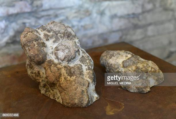A picture shows fossilized dinosaur droppings on march 28 2017 at the Shit Museum in the Castelbosco castle of Gragnano Trebbiense The idea of the...