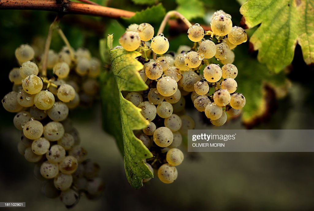ITALY-AGRICULTURE-HARVEST-WINE : News Photo