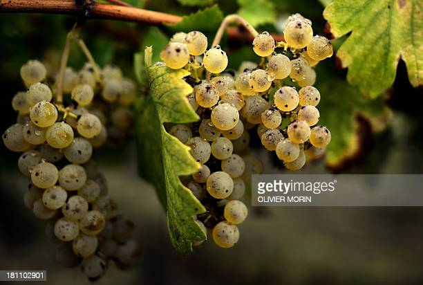 HERENSTEIN A picture shows grappes in a vineyard on September 16 2013 during the harvest in Zenevredo northern Italy Unemployed people from the...