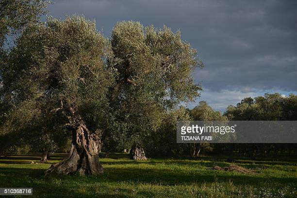 A picture shows olive trees at the Pantaleo Piccinnino farm where some trees are infected by the bacteria 'Xylella Fastidiosa' in Caprarica near...