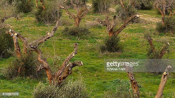 A picture shows olive trees infected by the bacteria 'Xylella Fastidiosa' on February 11 2016 in Gallipoli near Lecce in the Puglia region FABI
