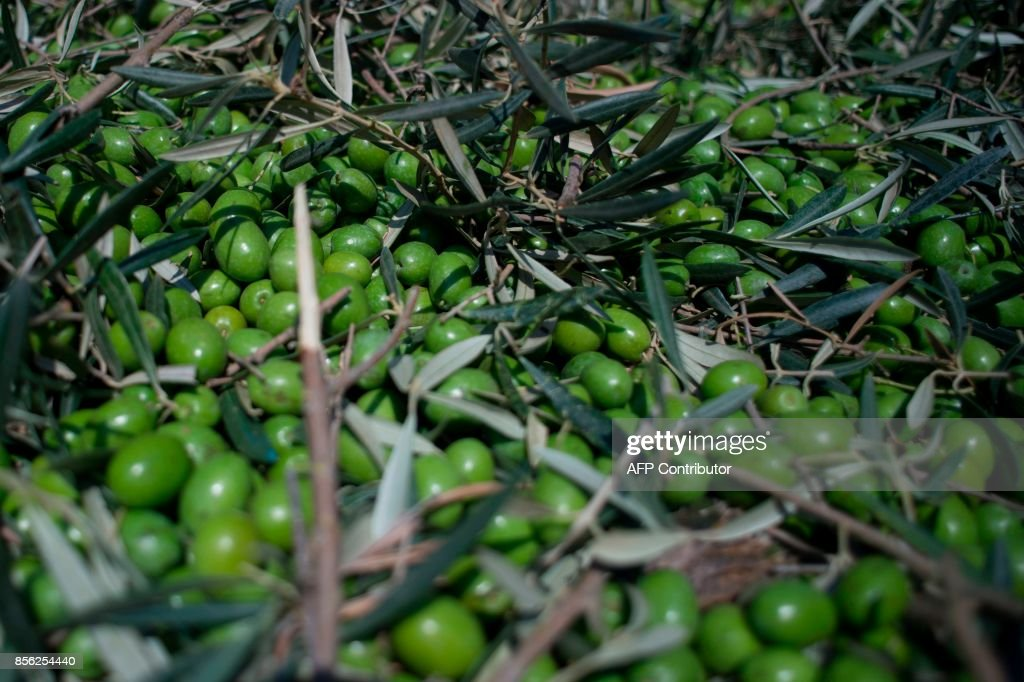 SPAIN-AGRICULTURE-OLIVE-ECONOMY-FOOD : News Photo