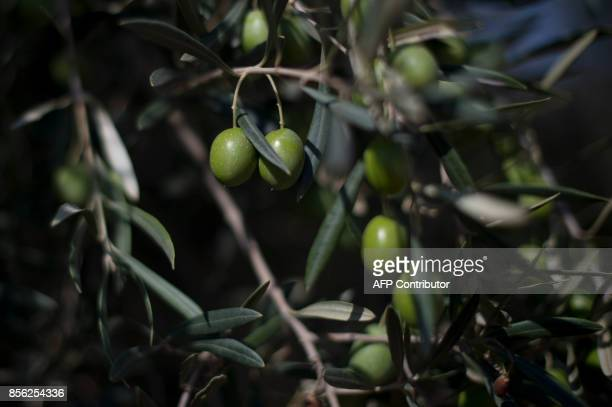 Picture shows olives hanging from an olivetree branch during the harvest season in La Roda de Andalucia on September 29 2017 / AFP PHOTO / JORGE...