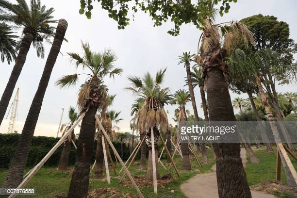 A picture shows palm trees in the Vigier Park in Nice southeastern France on July 30 2018 A complaint has been file against persons unknown by a Nice...