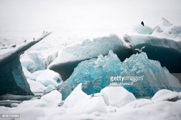 Picture shows seagulls flying around icebergs in the Jokulsarlon lagoon in the Austurland region in Iceland on taken on April 13, 2017. / AFP PHOTO /...