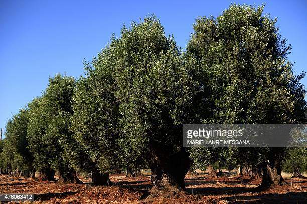 A picture shows secular olive trees in a field on May 30 2015 in Ostuni the Italy's southern region of Puglia Scientists estimate that one million...