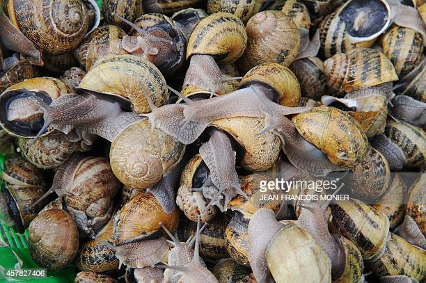 A picture shows snails of the Helix Aspersa species commonly known as garden snail and GrosGris in French on the snail farm l'Escargot du Maine in...