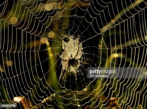 A picture shows the shadow of a spider as he spins a web at sunrise in the village of Krevo some 100 kms northwest of Minsk on August 30 2017 / AFP...
