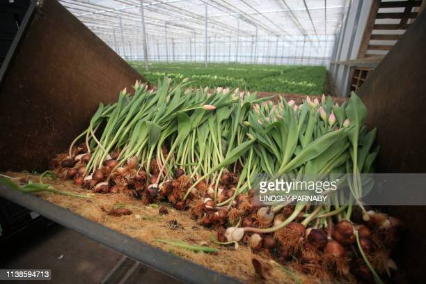 A picture shows tulips at J A Collison and Sons a supplier of cut flowers to supermarkets in the town of Boston in Lincolnshire northeast England on...