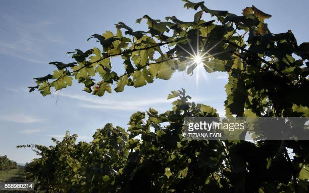 MACKINNON A picture shows vineyard of Italian wine estate Sassicaia Tenuta San Guido on October 4 2017 in Bolgheri