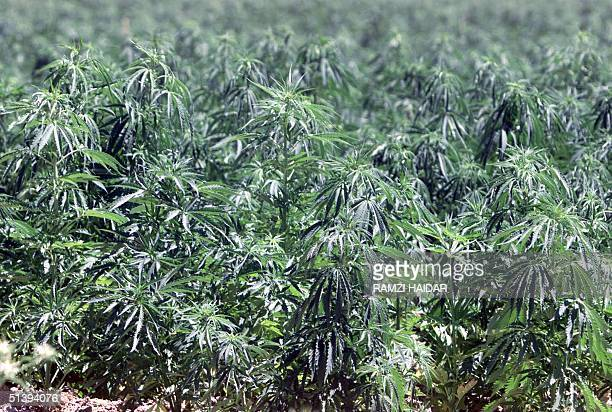 Picture taken 08 June 2001 shows a hashish plantation in a remote area in the Bekaa Valley in eastern Lebanon Lebanon's lean economc times have...