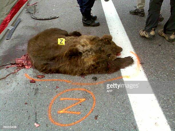 Picture taken 09 August 2007 shows the body of Slovenian bear named Franska killed today in a road accident in ArgelesGazost French Pyrenees Southern...