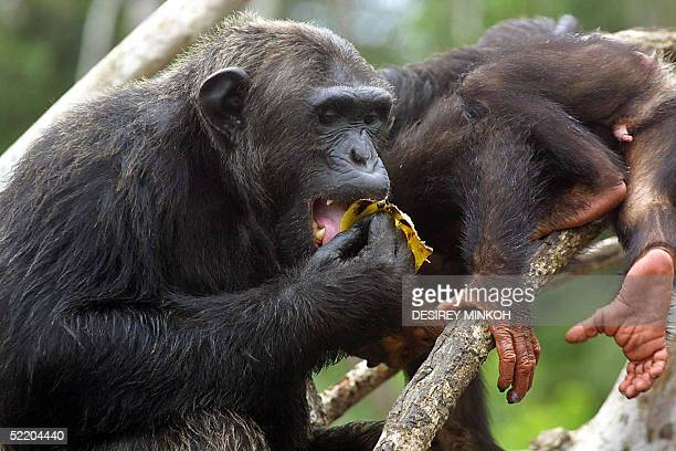 A picture taken 09 February 2005 shows chimpanzees in the Conkouati Douli national park in the Kouilou region southeastern Congo Brazzaville AFP...