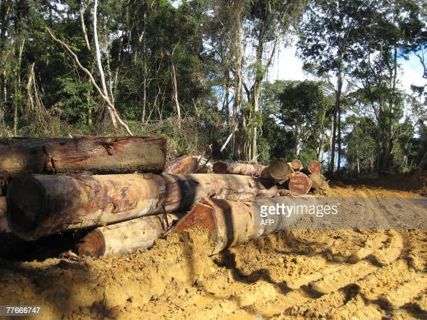 A picture taken 25 October 2007 shows logs during a visit by engineers of the Cameroonian Ministry of Forestry and Wild Life nicknamed forest...