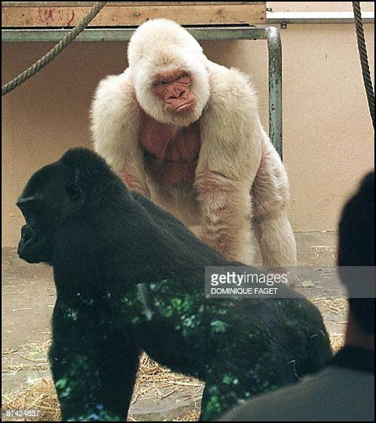 Picture taken 26 May of Copito de nieve the only albino gorilla in the Barcelona zoo Among its numerous offspring there are no other albinos and...