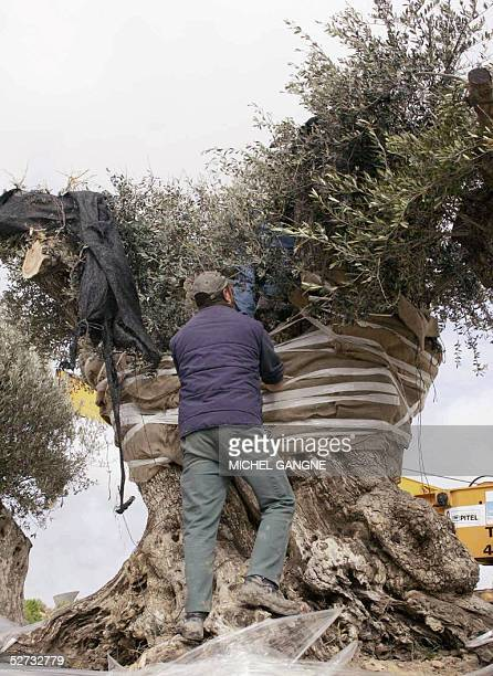 STORY A picture taken 27 April 2005 shows an olive tree arriving in Royan The French Atlantic resort town of Royan has replanted a gnarled Spanish...