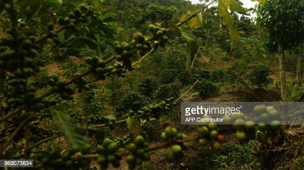 Picture taken at a coffee plantation in El Boqueron just northwest of San Salvador on October 13 2017 Coffee crops in Latin America one of the most...