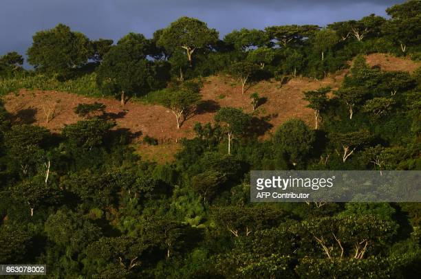 Picture taken at a coffee plantation with trees in El Boqueron just northwest of San Salvador on October 13 2017 Coffee crops in Latin America one of...