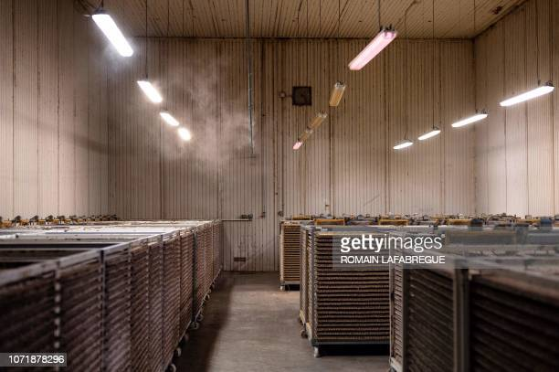 A picture taken at Bioline AgroSciences site of LivronsurDrome near Valence central eastern France on December 11 2018 shows Ephestia kuehniella's...
