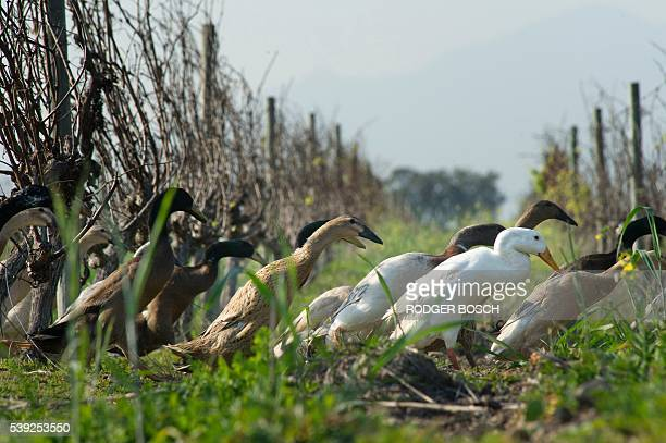 A picture taken at Vergenoegd wine estate on June 3 2016 near Stellenbosch shows trained Indian Runner ducks in the vineyards The ducks eat snails...