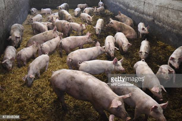 A picture taken in Plelo western France on November 10 2017 shows piglets on straw in a porc sur paille sty Compared to traditionnal breeding pig...