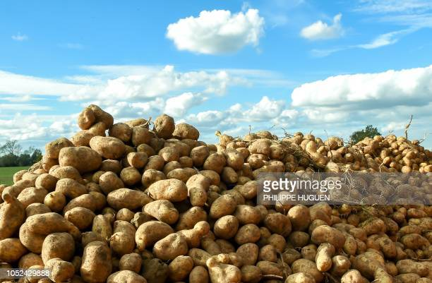 A picture taken in Rexpoëde northern France on October 15 2018 shows potatoes as the harvest reduced following summer drought