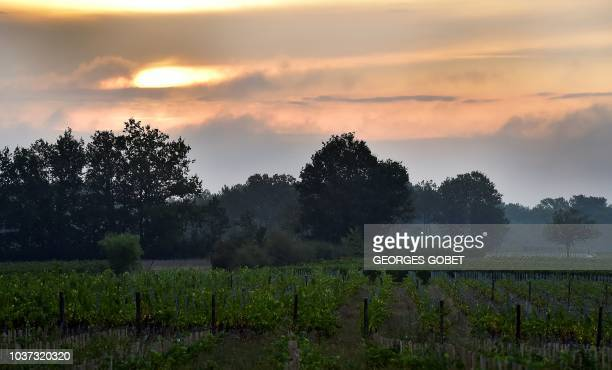 A picture taken in SainteFoyLaGrande near Bordeaux on September 21 2018 at dawn shows wineyards of the Chateau Pre La Lande which produces a bio and...