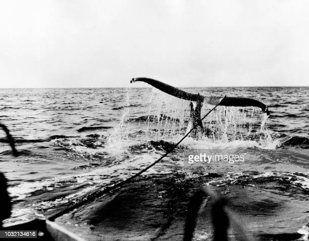 A picture taken in the 30s shows a whale being dragged on board a boat after having been harpooned