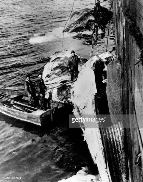 Picture taken in the 30s shows a whale being dragged on board a boat after having been harpooned