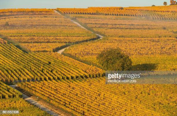 A picture taken in Wolxheim eastern France on October 15 2017 at sunrise shows vineyards