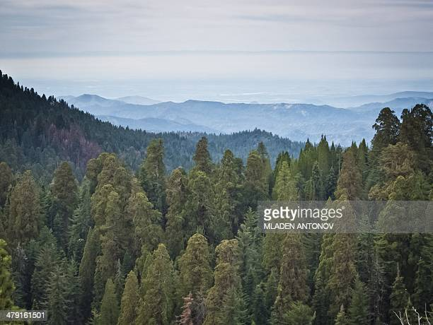 A picture taken March 09 2014 shows Giant Sequoia trees at the Giant Forest at Sequoia National Park in California Five of the ten most massive trees...