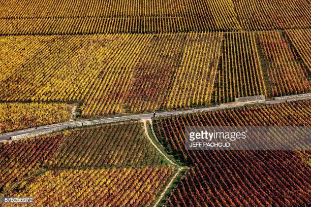A picture taken near Beaune central eastern France on October 18 2017 shows vineyards the grapes of which are used to feed cattle selected to produce...