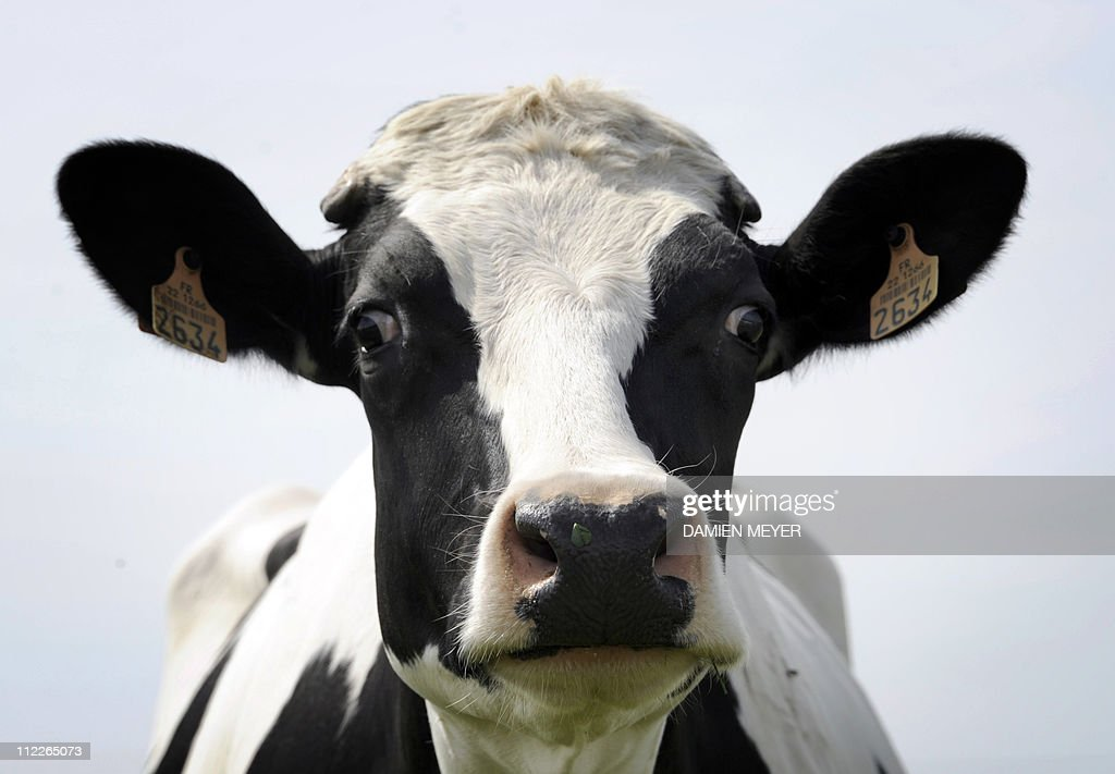 Picture taken of a cow on April 14, 2011 : News Photo