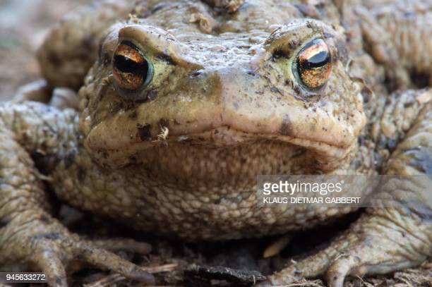 A picture taken on April 10 2018 in the Mandelholz northern Germany shows a common toad / AFP PHOTO / dpa / KlausDietmar Gabbert / Germany OUT