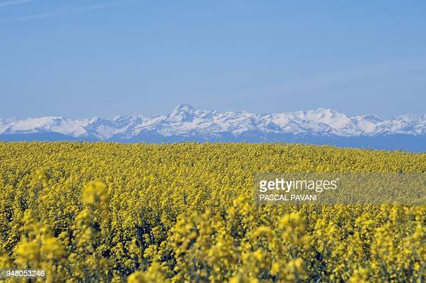 A picture taken on April 18 2018 shows the fields of flowers with the Pyrenees mountains on the background in Auterive / AFP PHOTO / PASCAL PAVANI