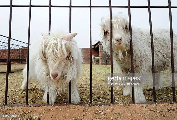 Picture taken on April 20, 2011 shows Cashmere goats, one with its head stuck in a fence, raised for their wool at a farm in Ordos in Inner Mongolia,...