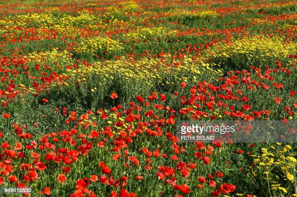 A picture taken on April 20 2018 shows a field of flowers in the locality of the Tunisian town of Tebourba about 30 kilometres west of the capital...